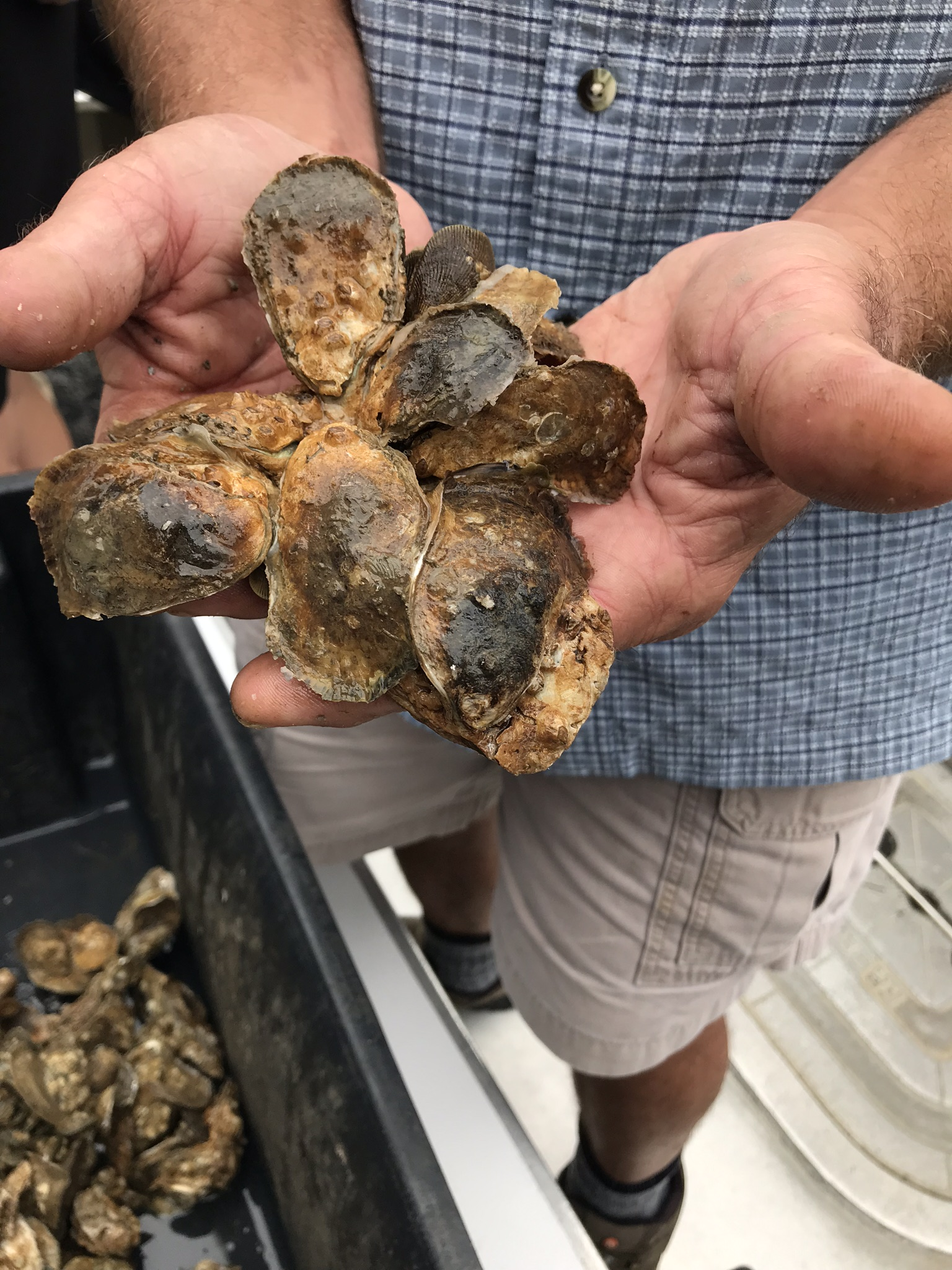 A grouping of Oysters pulled from the water.